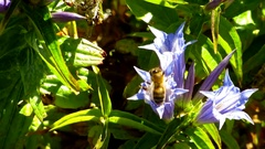 A bee flew with blue flowers Stock Footage