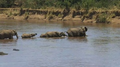 Wide shot of an elephant herd crossing the mara river in kenya Stock Footage