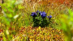 Blue flower bushes of blueberries Stock Footage
