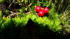 Lingonberry grows on the bush Stock Footage