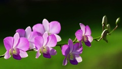 Closeup of purple dendrobium orchid flowers Stock Footage