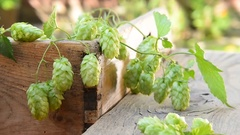 Detail of hop cones, zoom in Stock Footage