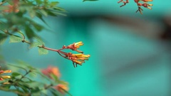 Orange Flower Buds with Blue Bokeh Background 4K Stock Footage