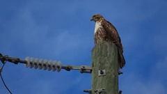Hawk on a telephone post Stock Footage