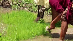 Indonesia farmers harvesting plants, rice on a field Stock Footage