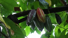 Cacoa Cacao plant Indonesia Stock Footage