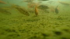 Immersed among goldfish Stock Footage