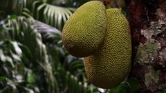 La Reunion Jackfruit  Artocarpus heterophyllus closeup fruit in tropical garden Stock Footage