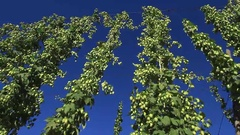 Hops Flowers Bud or at Plant Stock Footage