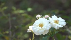 Most Beautiful White Roses 4K Bokeh Effect Nature Flowers Footage Arkistovideo
