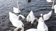 Feeding of White Swans Stock Footage