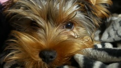 Sad Yorkshire terrier lonely sick dog on the bed Stock Footage