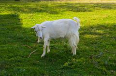 Goat is the oldest pet. Suppliers of valuable raw materials - fluff, hair, sk Stock Photos