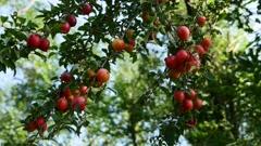 Prunus salicina wild common plum on tree branch natural 4K Stock Footage