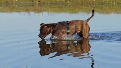 Dog walking in pond, 4K clip Stock Footage