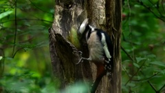 Great spotted woodpecker eats pine cone on an old tree. Stock Footage