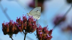 White butterfly collects nectar from a flower. Stock Footage