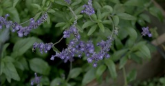Salvia or Sage Mint Growing in a Garden with Purple Flowers and a Bumblebee Stock Footage