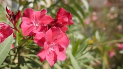 Nerium oleander beautiful pink flower in the garden close-up 4K 2160p 30fps U Stock Footage