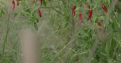 Pan Up on Cayenne Peppers Growing on a Garden Trellis Stock Footage