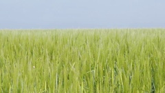 Fields of green wheat young plants agriculture background footage Stock Footage