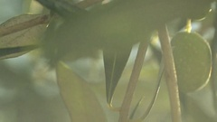Olive fruit on tree branch with morning sunlight Stock Footage