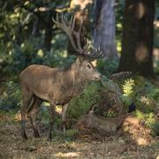Beautiful intimate tender moment between red deer stag and hind doe during ru Stock Photos