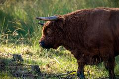 Close-up of head of highlander cattle in field. Nature reserve Deelerwoud. Ve Stock Photos