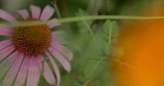 Purple Coneflower Detail in a Garden Stock Footage