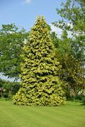 Conifer in garden Stock Photos