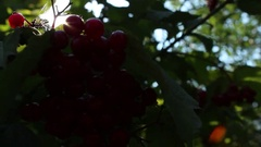 Viburnum branch with red berries from sunlight Stock Footage