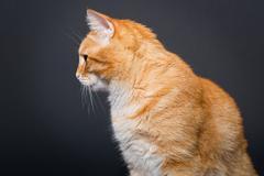 Big, beautiful red cat Stock Photos