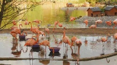 Pink flamingos at a zoo in Moscow Stock Footage