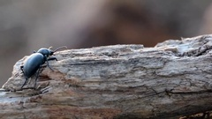 Black beetle on a tree branch Stock Footage