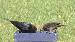 Brown-headed Cowbirds (Molothrus ater) Stock Footage