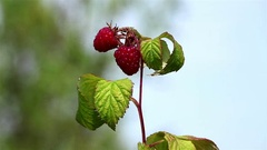 Branch with raspberries Stock Footage
