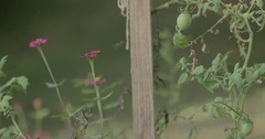 Pan Up of a Green Tomato Growing in a Garden Stock Footage