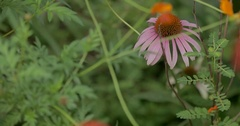 Purple Coneflower in a Garden Stock Footage