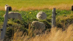 Four icelandic white sheeps grazing on bright green grass behind the fence in Stock Footage