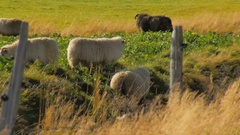 White and black sheeps grazing on bright green grass behind the fence in sunny Stock Footage