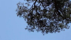 Pine branches over sky Stock Footage