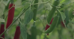 Cayenne Peppers Growing in a Garden Stock Footage