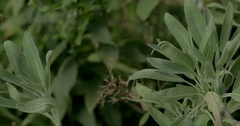 Pan of Culinary Sage Plant in Garden Stock Footage