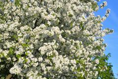 Blossoming apple tree. Stock Photos
