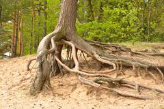 Gnarled roots of pine tree. Stock Photos