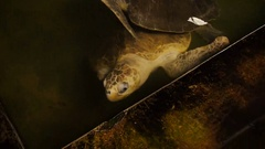 Big soft-shelled turtle swimming in a pool at a turtle hatchery in Sri Lanka Stock Footage