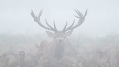 Red Deer stag (Cervus elaphus) staring or looking straight at camera Stock Footage