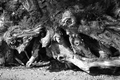 Tree roots. Stock Photos