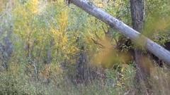 Bull Shiras Moose in the Fall Rut Stock Footage