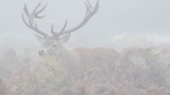 Red Deer stag (Cervus elaphus) chasing females with tongue out and bellowing Stock Footage
